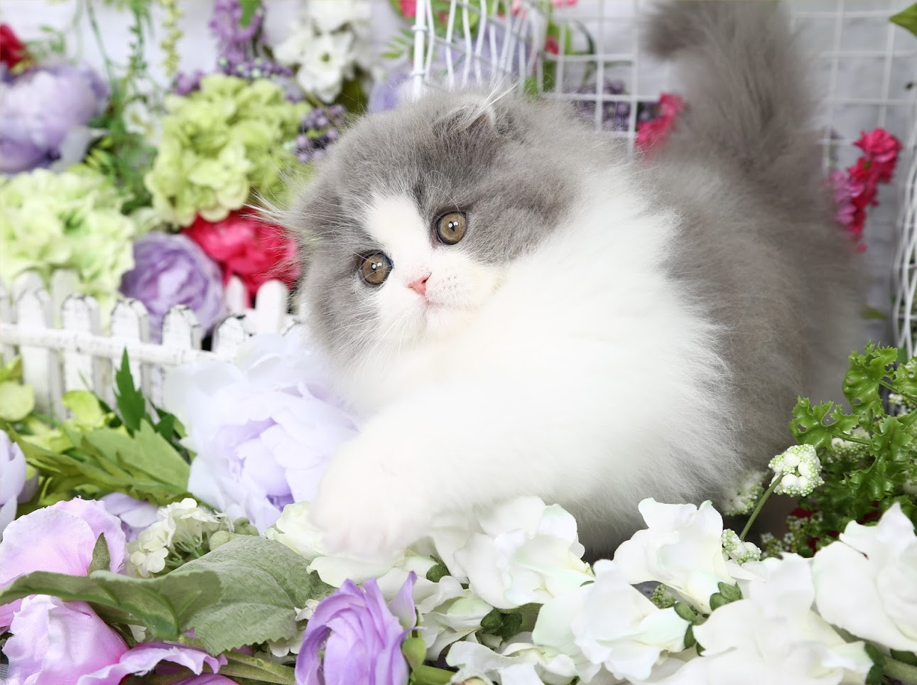 Blue White Persian KittensUltra Rare Persian Kittens For Sale