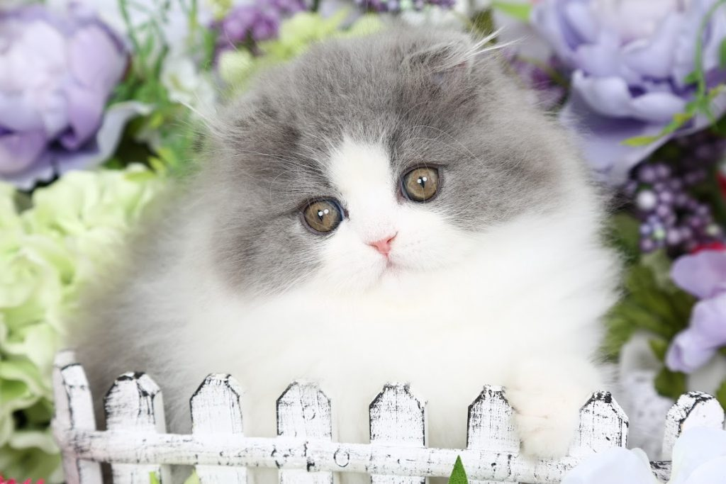Blue & White Persian Fold