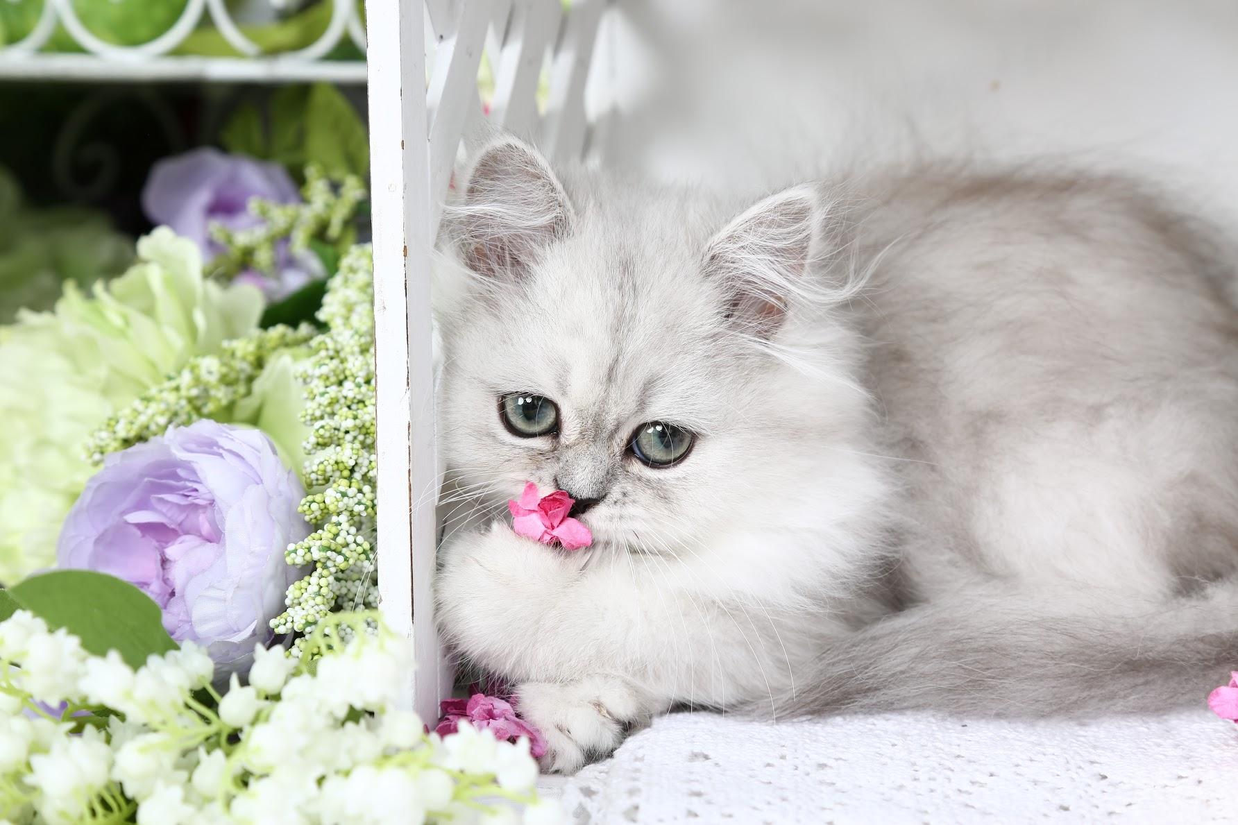 Shaded Silver Persian