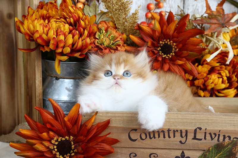 Red & White Bicolor Persian Kitten