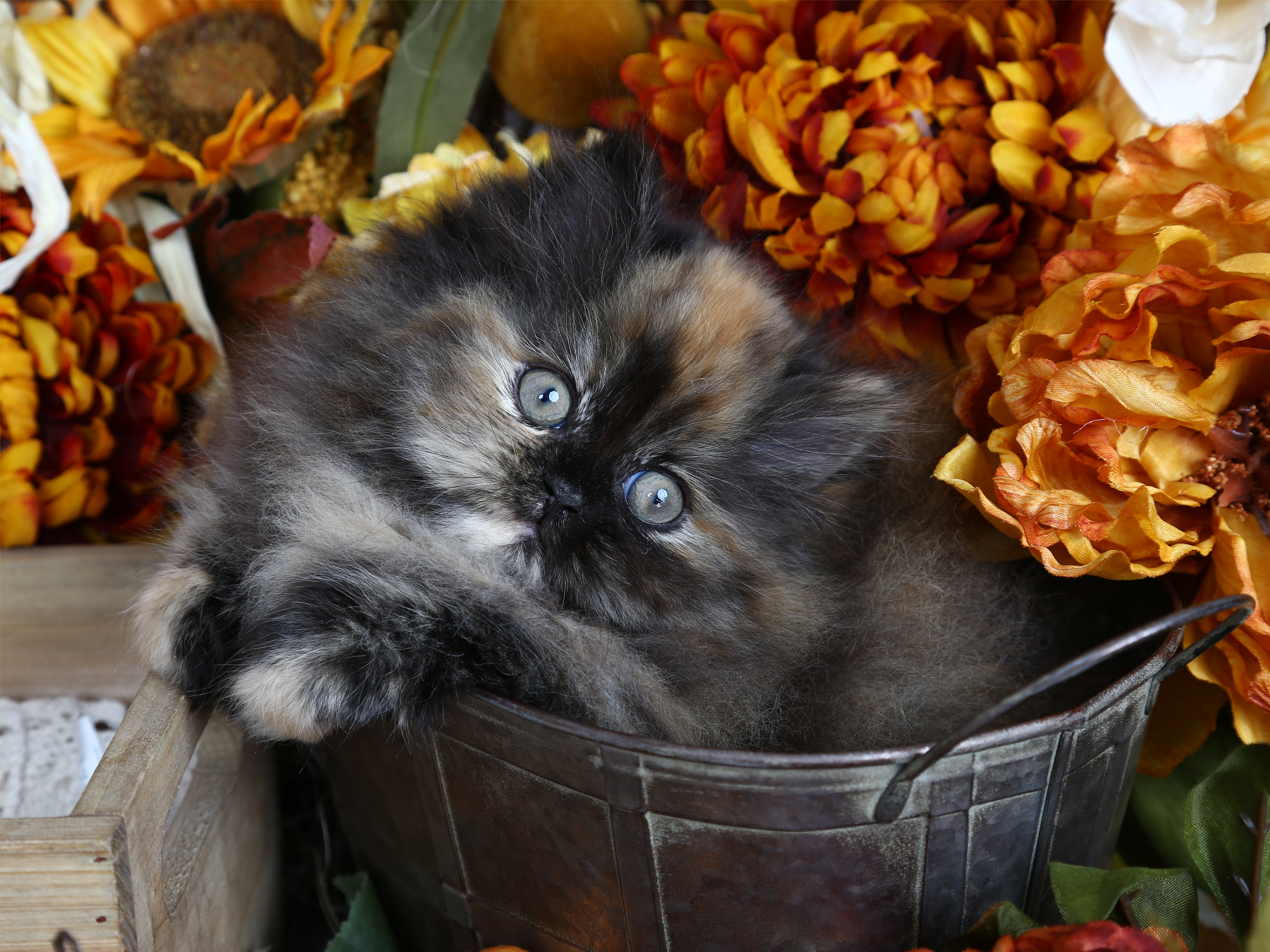 Calico KittensUltra Rare Persian Kittens For Sale – 660 292 2222