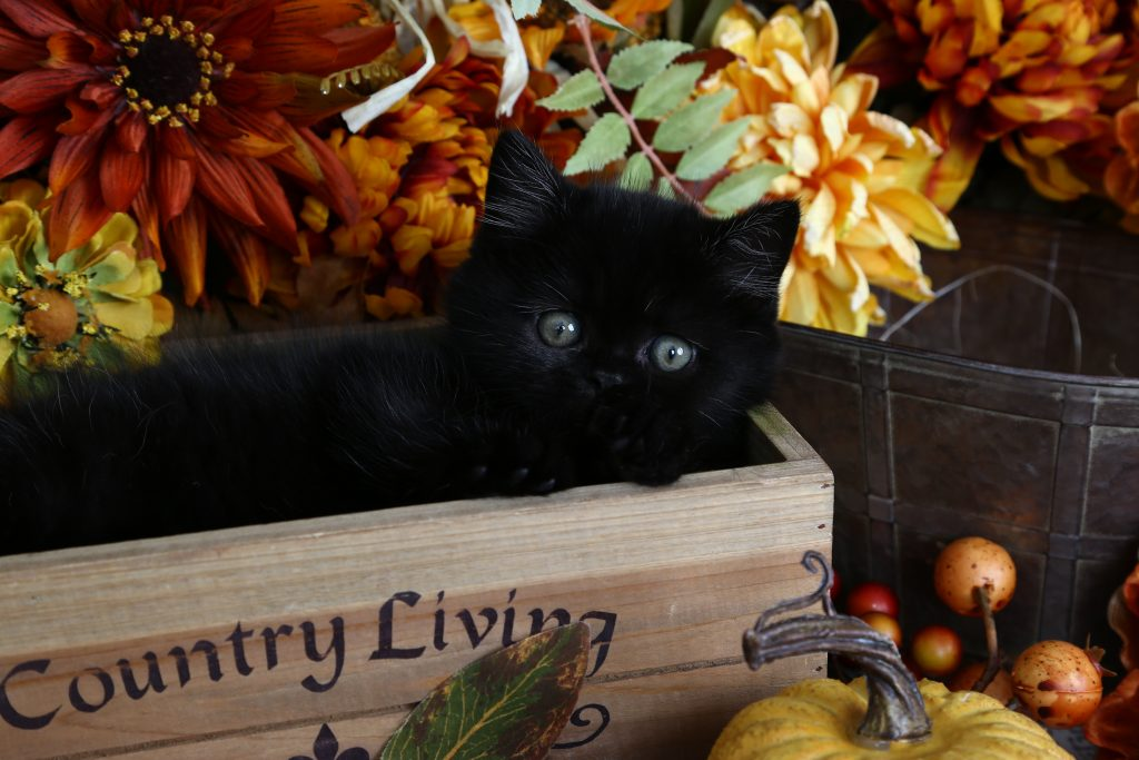 Spellbound - Click Here - Pre-Loved Persian Kittens For ... | 1024 x 683 jpeg 107kB