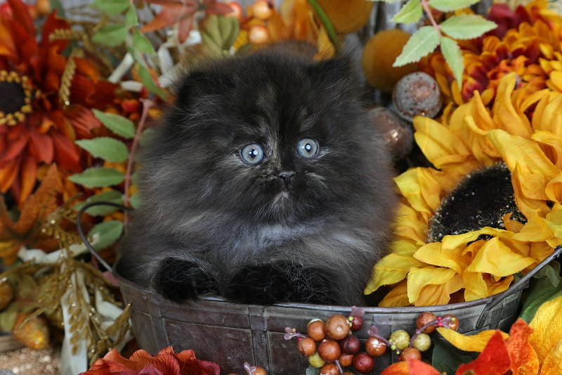 Tortie Persian Kitten