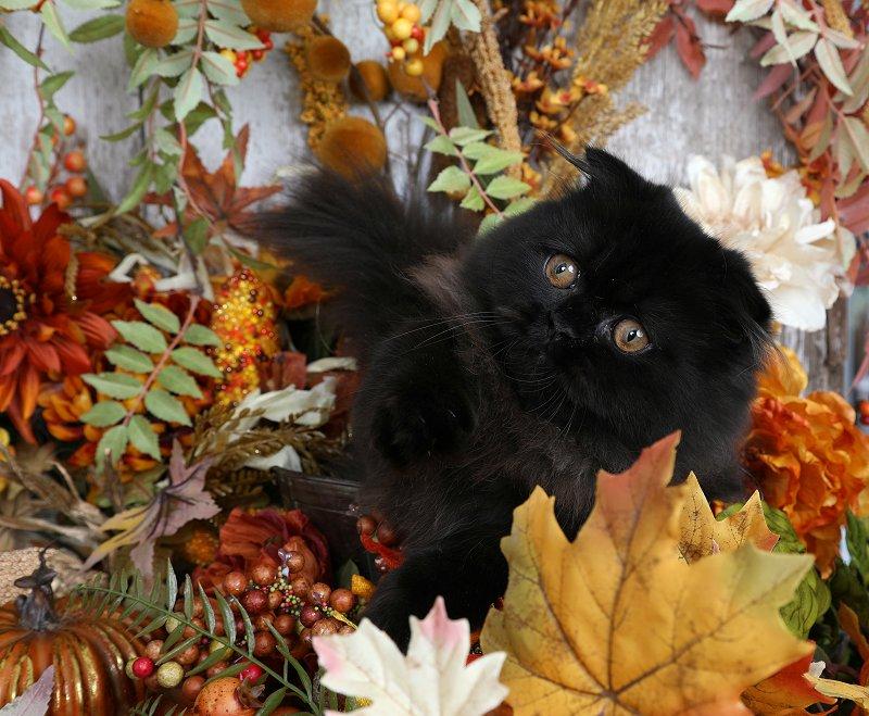 Black Rug Hugger - Doll Face Persian Kittens - Minuet Kitten - Rug Hugger Kitten