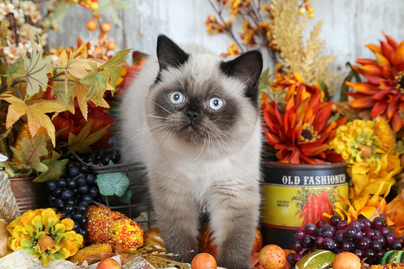 Seal Point Exotic Shorthair Himalayan Kitten