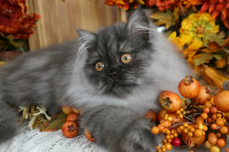 Black Smoke Persian