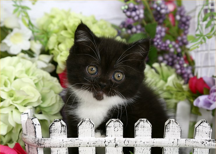 Doll Face Persian Kittens Black and White Exotic Shorthair Persian Kitten