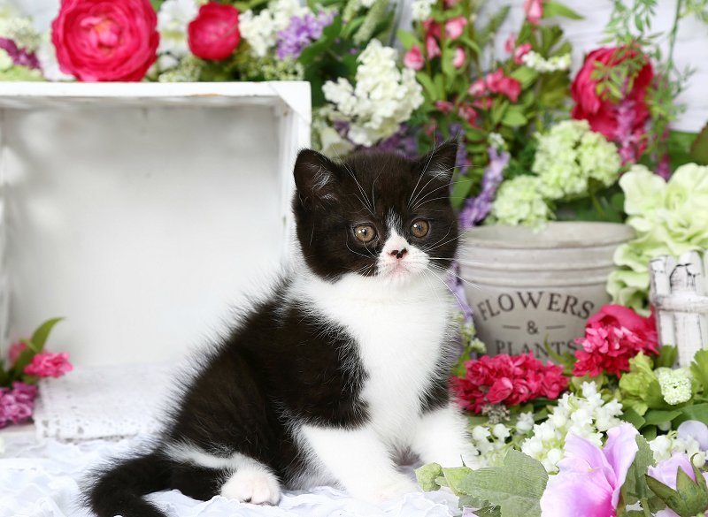 Doll Face Persian Kittens - Black and White Bicolor Exotic Shorthair Persian Kitten