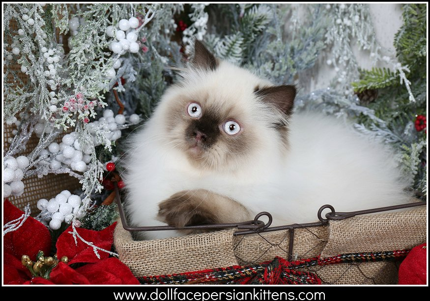 Seal Point Himalayan Kitten