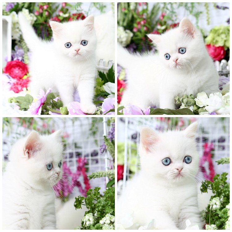 White Exotic Persian Kitten from Doll Face Persian Kittens