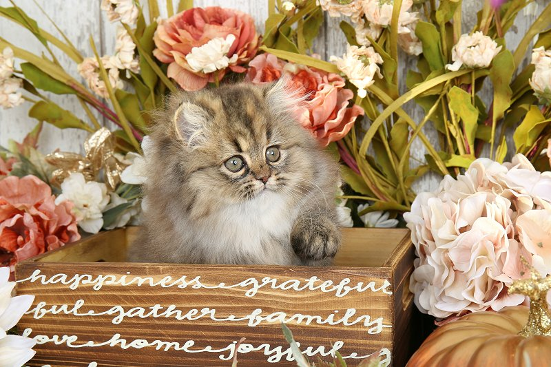 Shaded Golden Tabby with Cream Kitten - Doll Face Persian Kittens