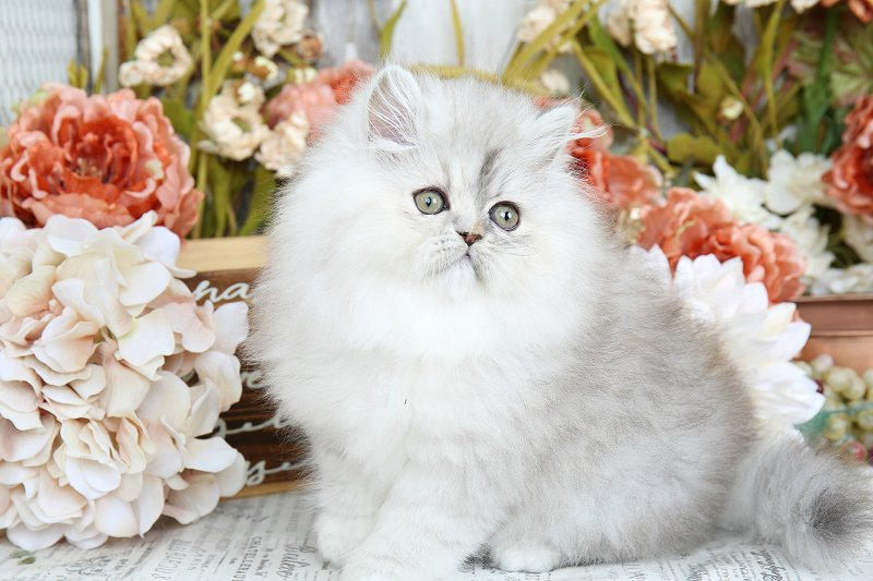 Shaded Silver Persian