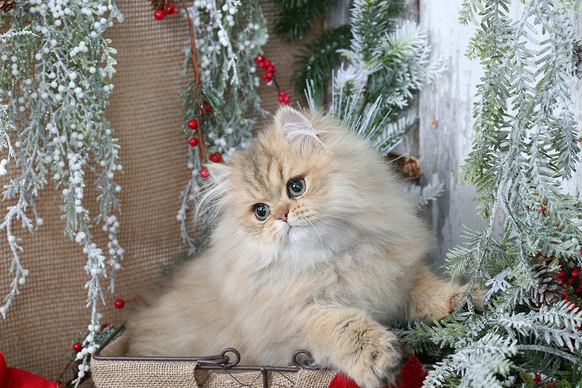 Golden Chinchilla Persian Kitten - Doll Face Persian Kittens