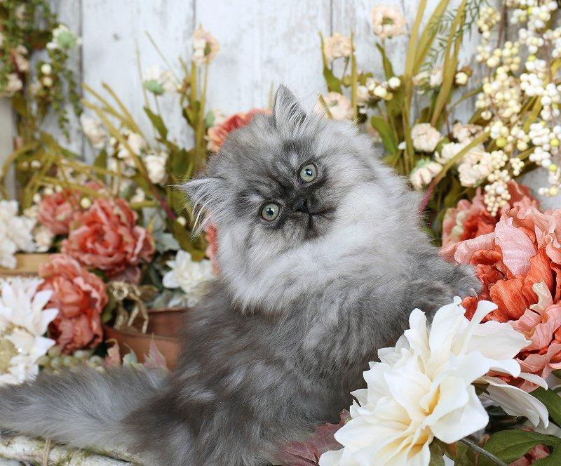 Black Smoke Persian Kitten