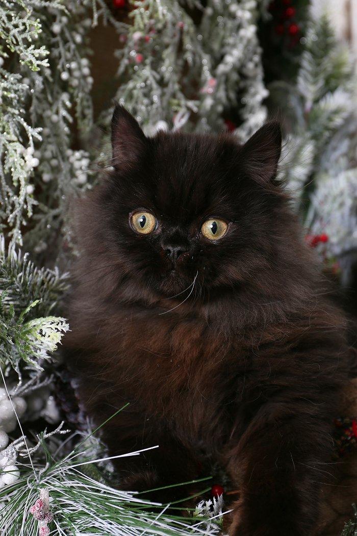 Doll Face Persian Kittens Copyright