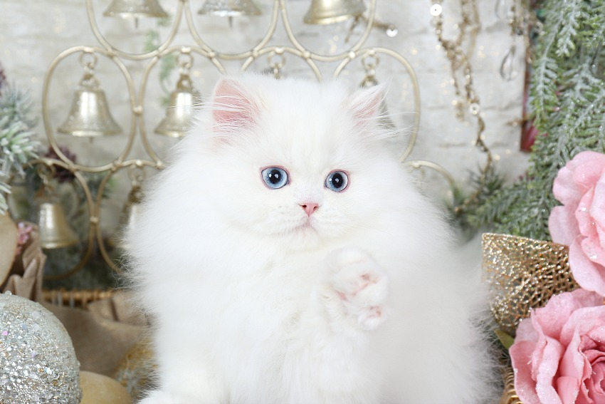 White Persian Kittens | White Persian Cats | Pure White ...