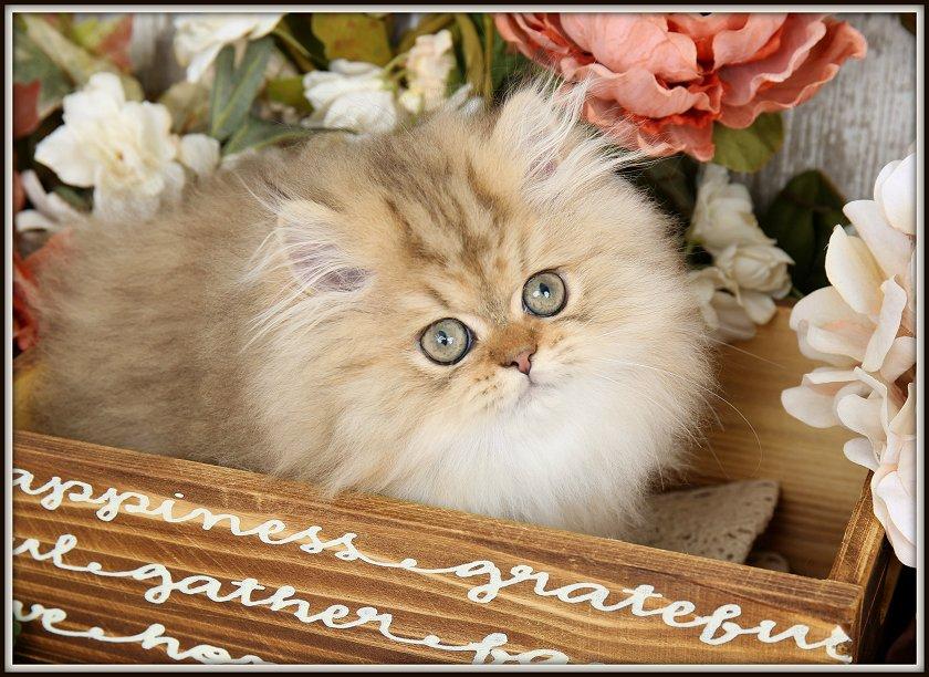 Golden Chinchilla Persian Kitten