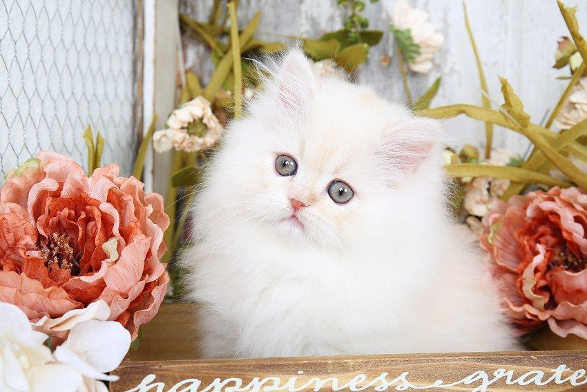 Champagne Persian Kitten