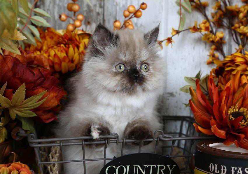 Tortie Point Himalayan Kitten