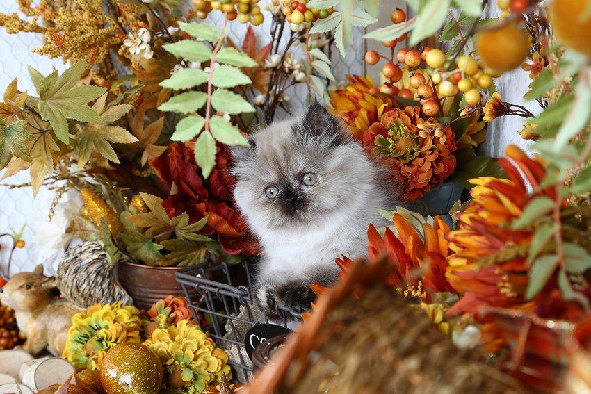Hiamalayan Kittens for Sale