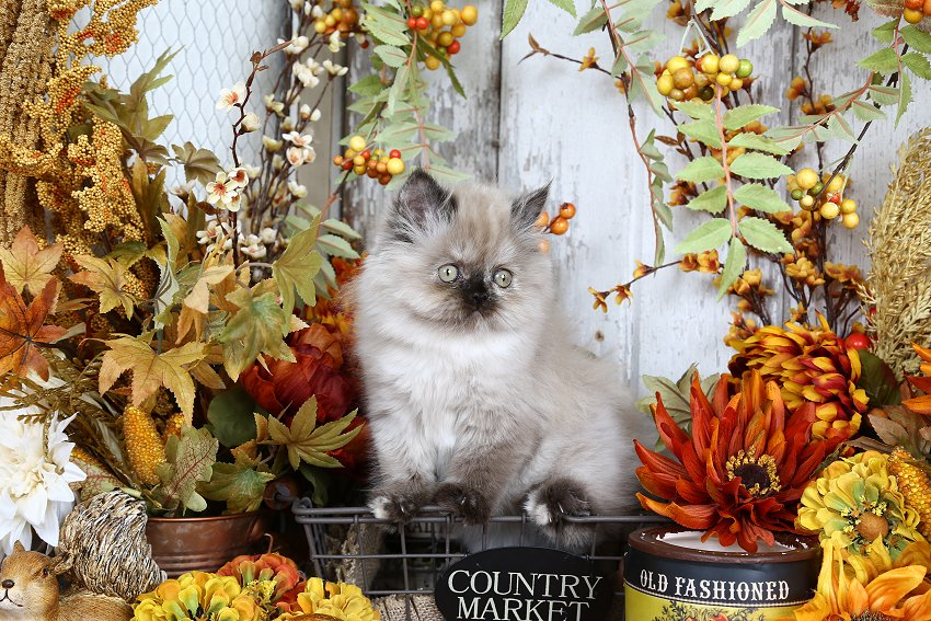 Chocolate Point Himalayan Kitten