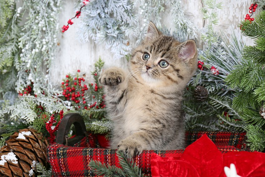 Exotic Shorthair Persian Kitten