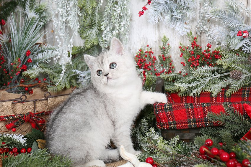 Exotic Shorthair Persian Kitten