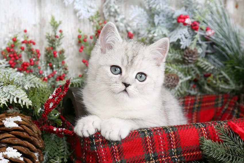 Doll Face Persian Kittens Shaded Silver Exotic Shorthair Persian Kitten