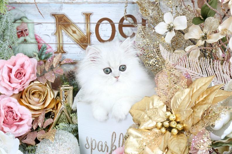 Silver Chinchilla Persian Kitten