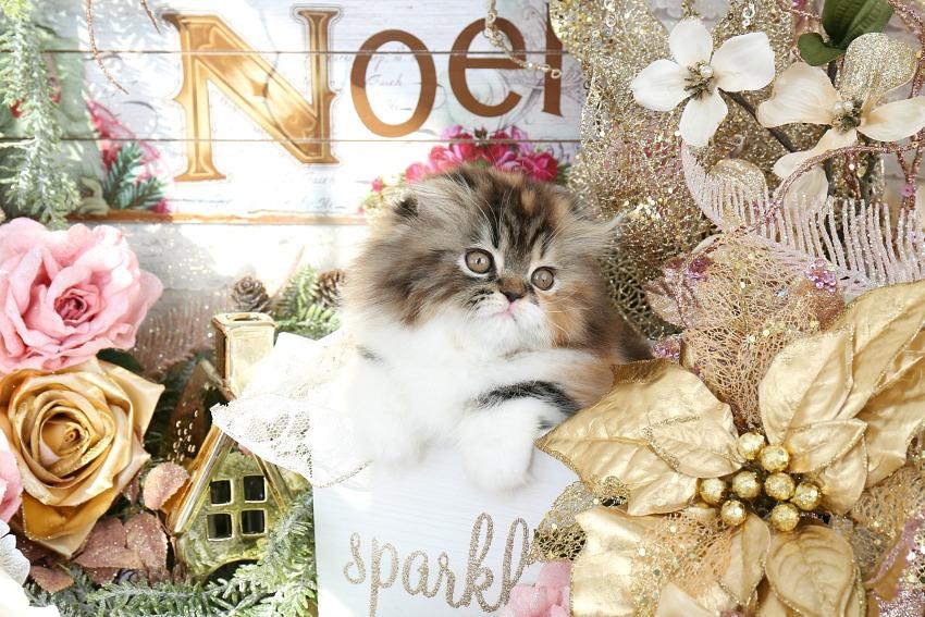 Calico Tabby Persian Fold Kitten