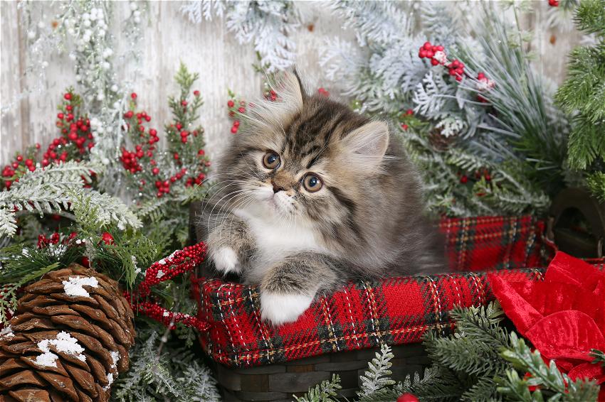 Shaded Golden & White Bi-Color Persian Kitten
