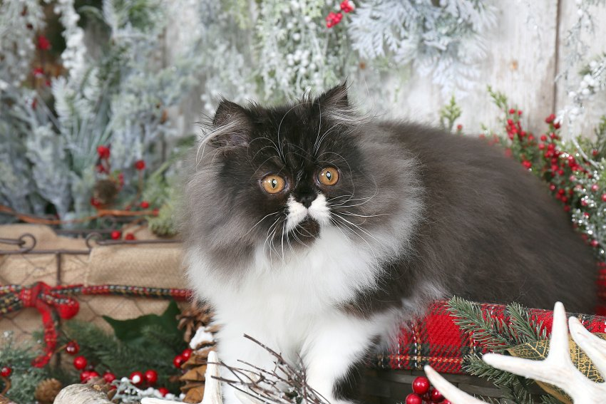 Black & White Bicolor Persian Kitten - Doll Face Persian Kittens