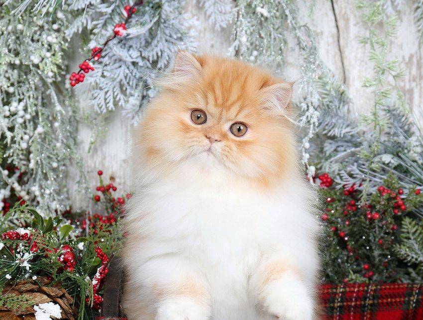 Red & White Persian KittensPre-Loved Persian Kittens For Sale – (660