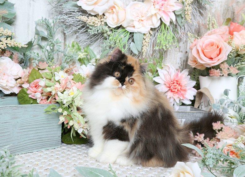 Calico Persian Kitten - Persian Kittens