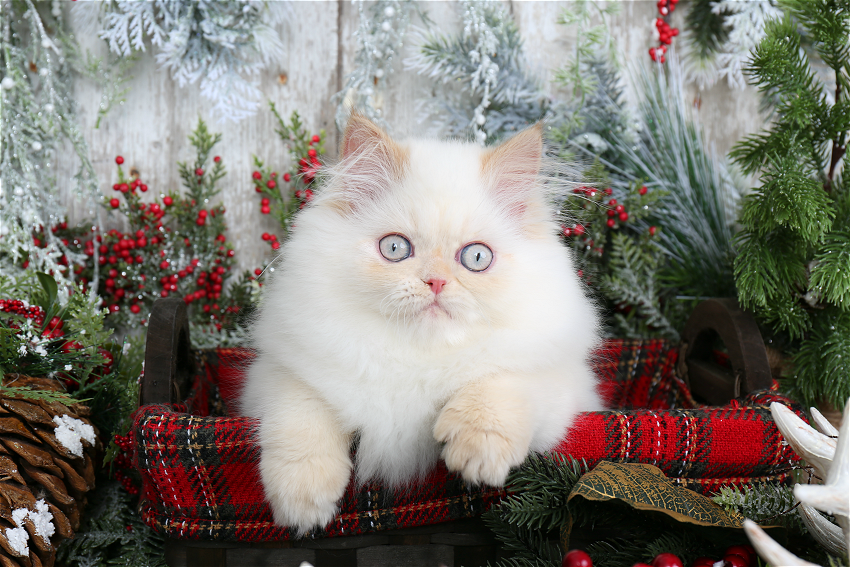 Flame Point Himalayan Kitten