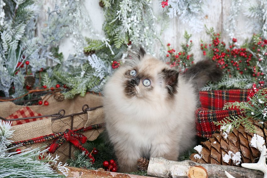 Persian Cats For Sale In Louisiana