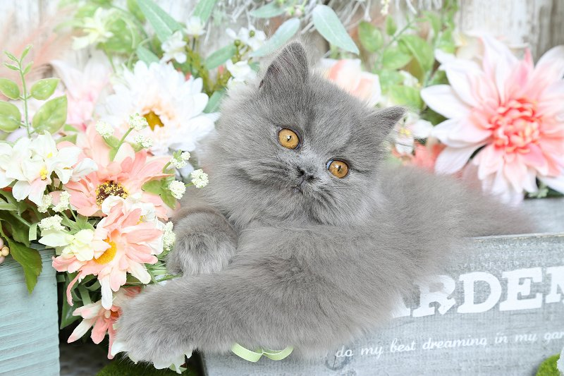 Blue Persian Kittens