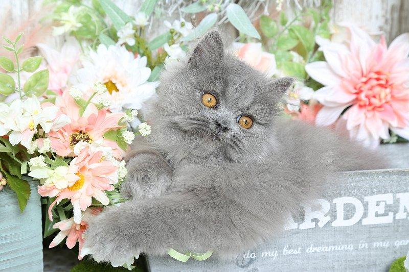 Blue Persian Kittens