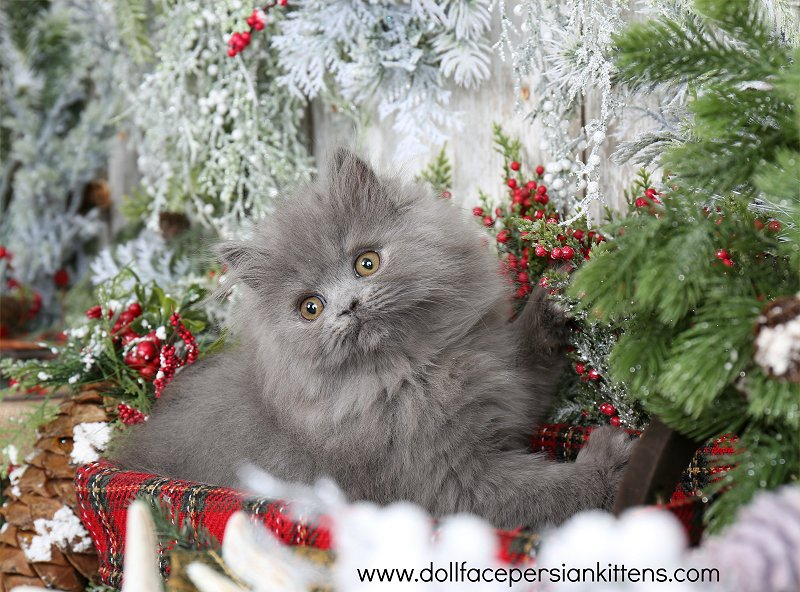 Morning Glory - Click Here - Pre-Loved Persian Kittens For