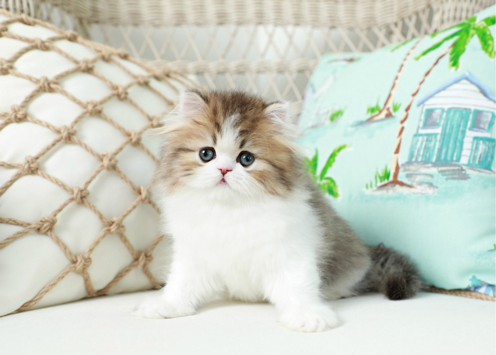 Doll Face Persian Kittens - www.dollfacepersiankittens.com