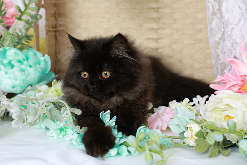 Black Persian Kitten