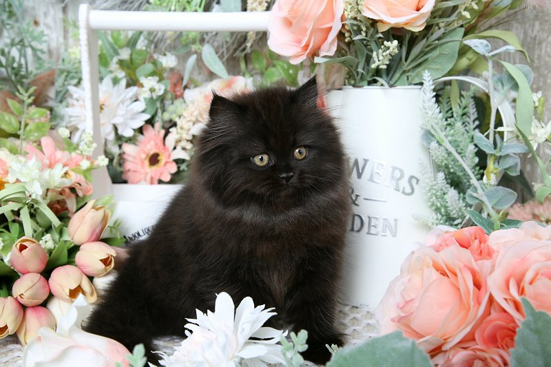 Black Doll Face Persian Kitten