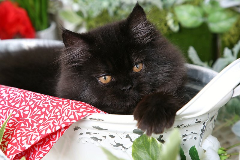 Black Kitten for Sale
