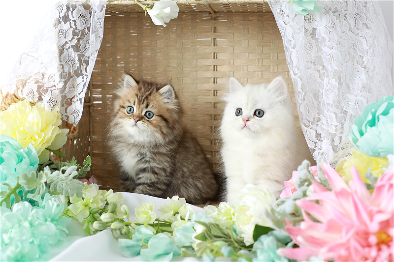 Caring For Your Persian Kitten