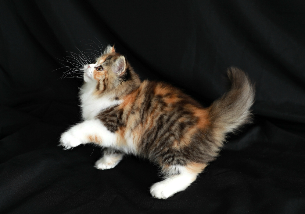 Calico Tabby Persian