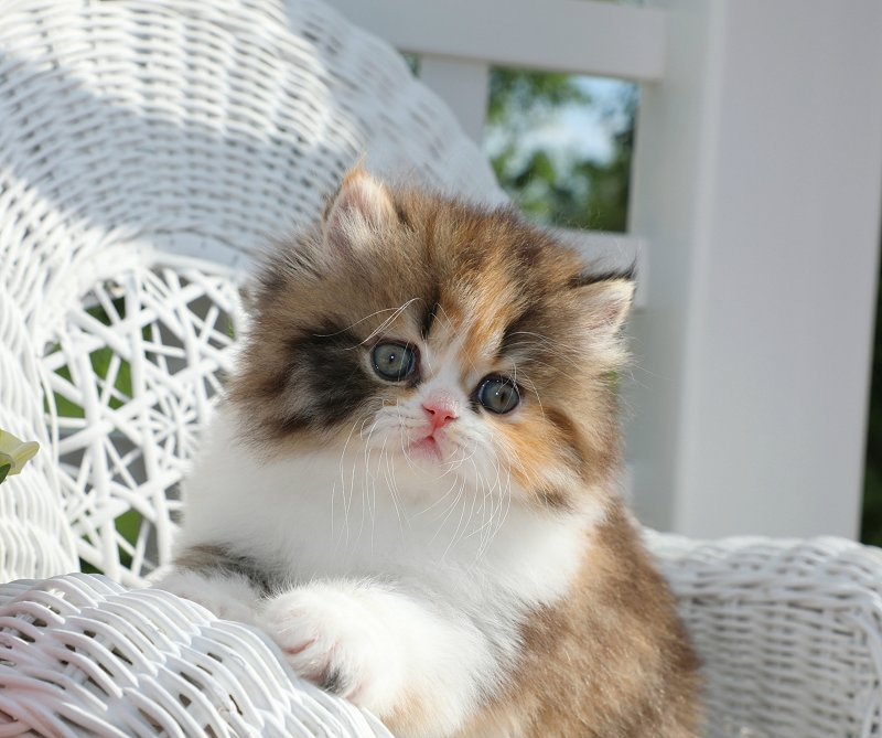 Doll Face Calico Persian