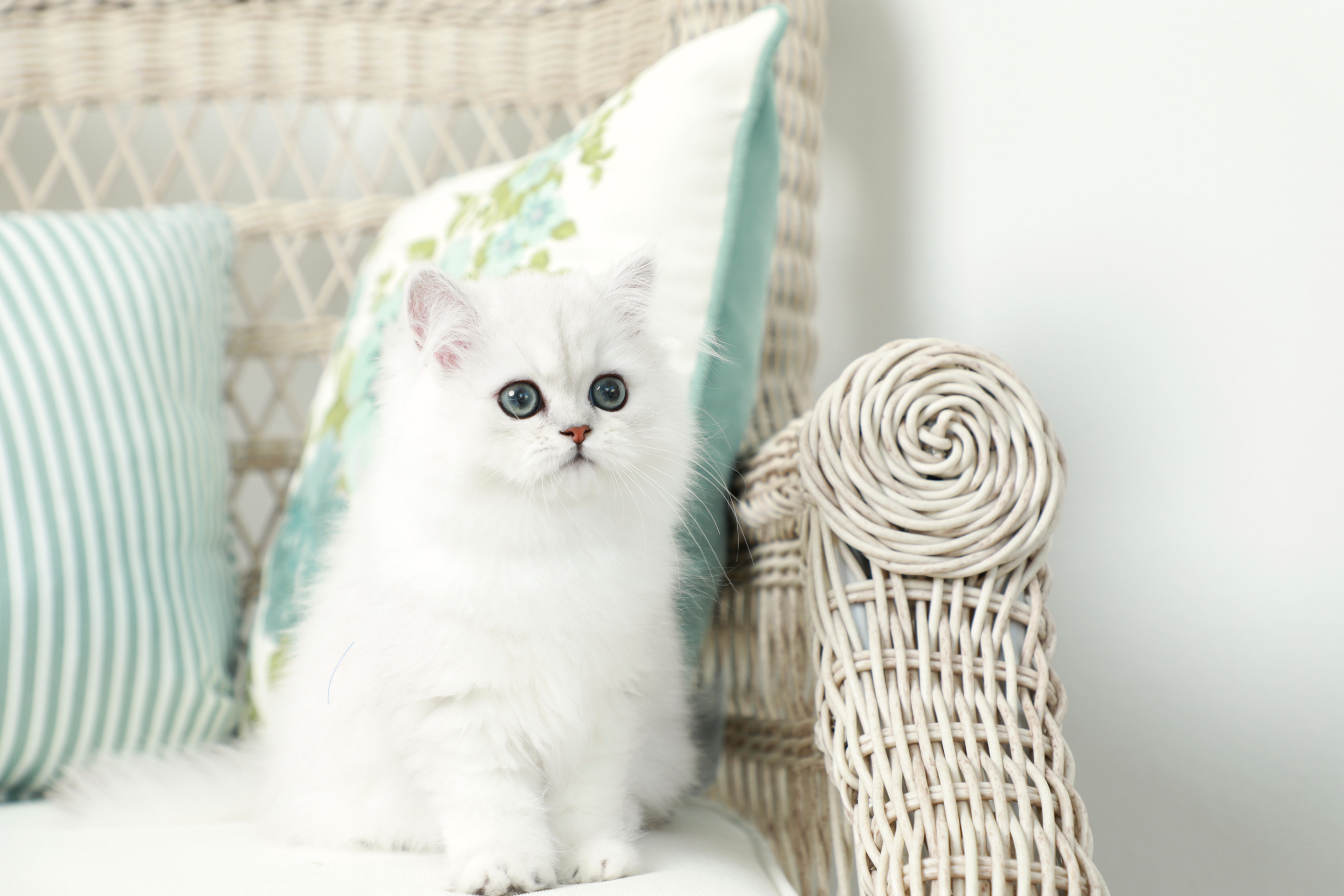 Silver Chinchilla Persian