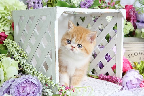 Red and white bicolor exotic shorthair