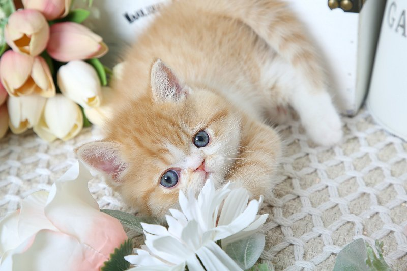 Top 3 Persian Kitten Products, Food, Vitamins, Supplements