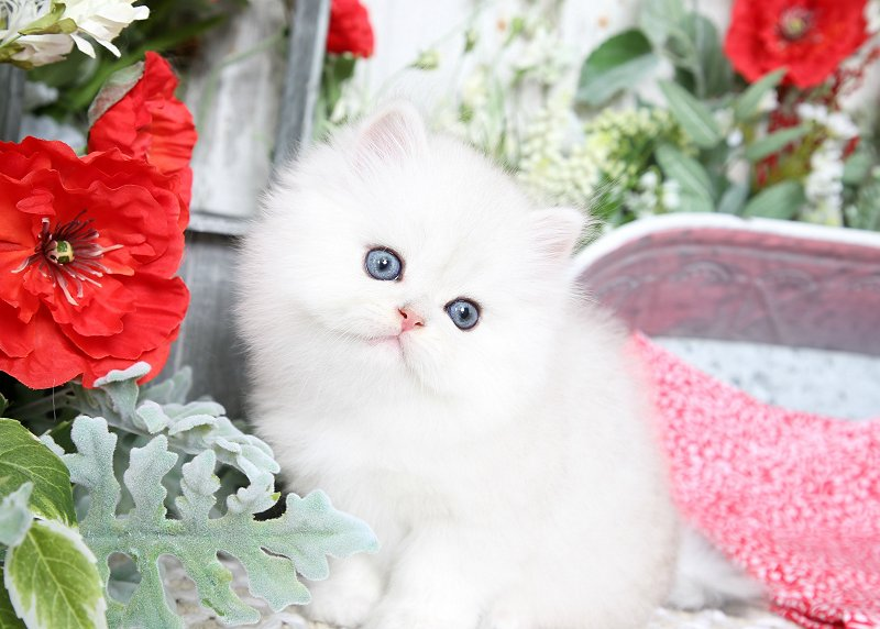 Silver Chinchilla Persian Kitten for Sale